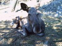 moose in gothenburg