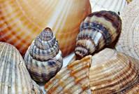 Seashells 4