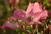 Sunset Rose 2