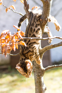 Bengal Kitten upside down