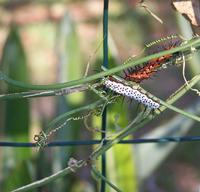 Caterpillar 8