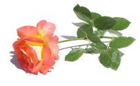 Rose 550