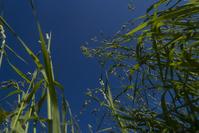 wheatfield 1