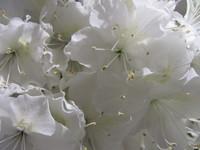 Hawaiian Flowers 17