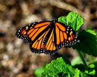 Meadowlark Butterfly