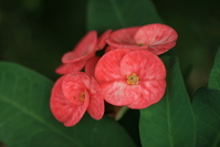Red flower 1-My Uncle's Garden