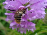 Bee on violet flower