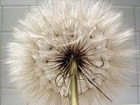 giant dandelion 6