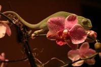 Chameleon 7