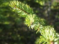 Spruce tree twig