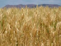 Wheat Fields No. 1