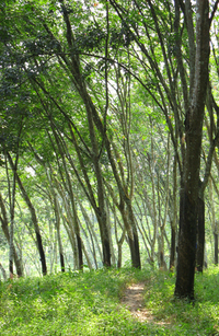 Latex forest
