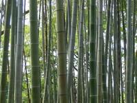 Korakuen Bamboo