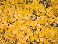 Autumn Ginkgo Foliage