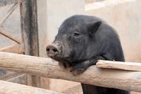Black Pigs 2