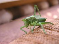 grasshopers 1