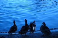 Ducks watching Water 1