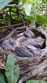 Little blackbirds in the nest