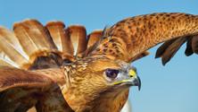 sahara desert falcon