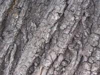 Tilia bark