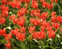 Keukenhof Spring Blossoms