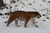 Sibirian Tiger 5