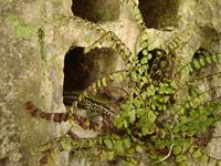 Lizard in the hole