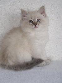 Neva Masquerade kitten Ilarion 4