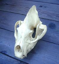 Hyena Skull 1
