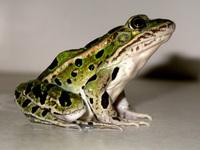 Northern Leopard Frog 3