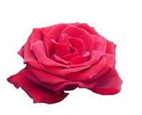 Red Queen Rose