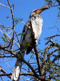 Stately Hornbill
