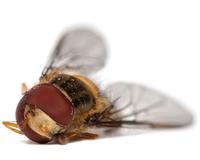 Slain syrphid fly