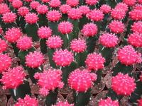 Colourful cactus 1
