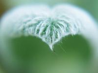 Bielo-zelený chlpatý list - list v tvare srdca - srdce vytvorené z listu