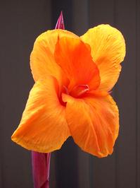 Cana Lily 2