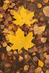 mapls leaves