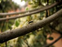 La hormiga tarzanesca