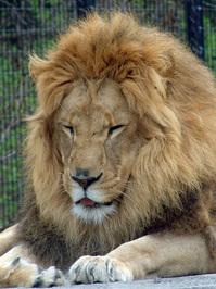 Lion Sneezing