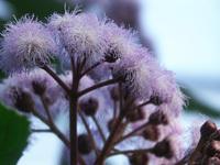 Mauve flower