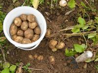 Digging for potatoes