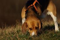 Lucky the beagle 4