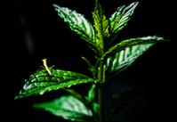 Baby mantis on the mint leaf