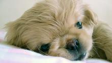 Sweet Pekingese puppy