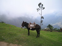 Donkey in the Clouded Forest