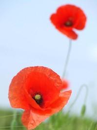 Poppy Day 3