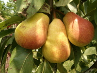 Pear's fruit