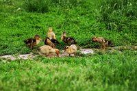 Duckling on green grass