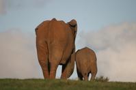 Addo Elephant 100
