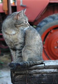 Farm Cat 1